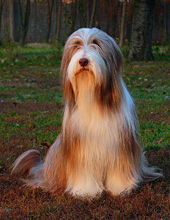 Darcy Bearded Collie